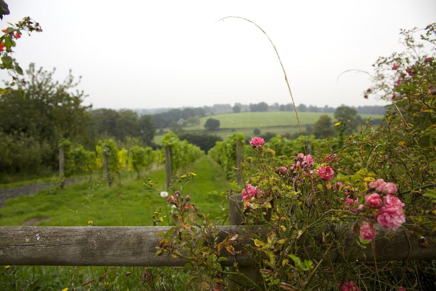 Vineyard roses