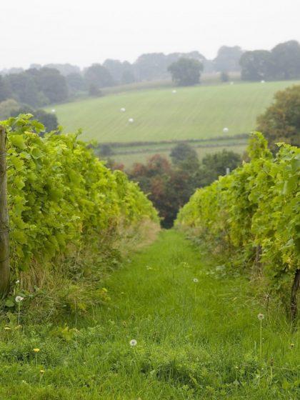 Vineyard View