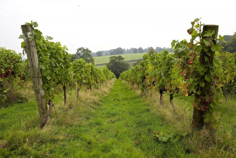 Pinot Noir Vines